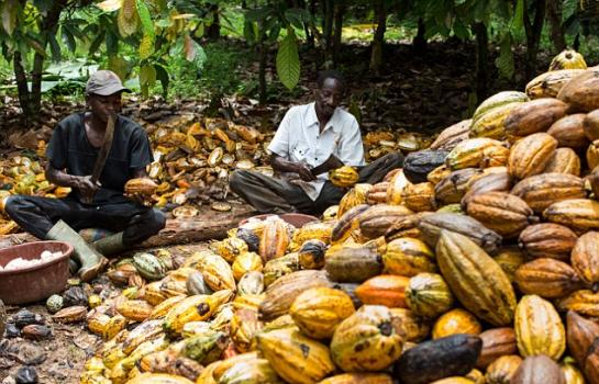 L'exportation des fèves de cacao en baisse