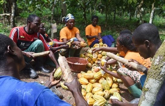 Producteurs de Cacao