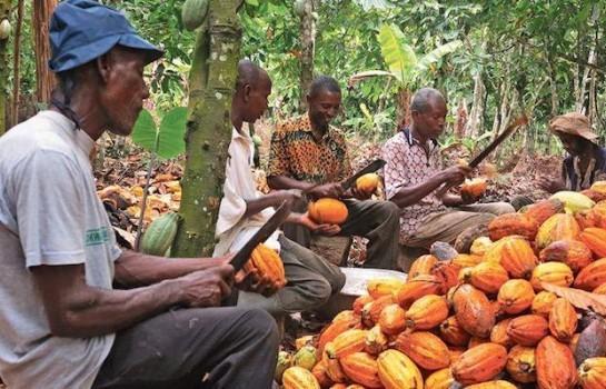 Les planteurs cacao contre la suspension des ventes