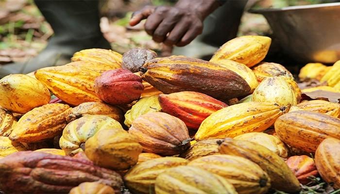 Le cacao camerounais reste vendu à plus de 1000 francs CFA