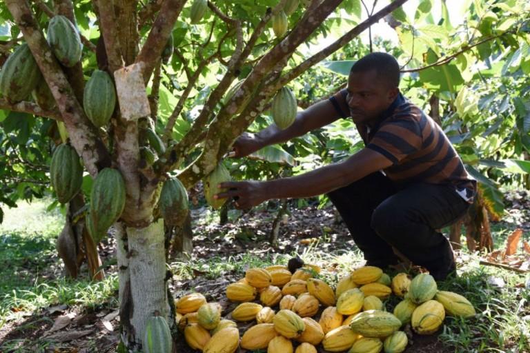 Le prix du cacao augmente en Côte d'ivoire