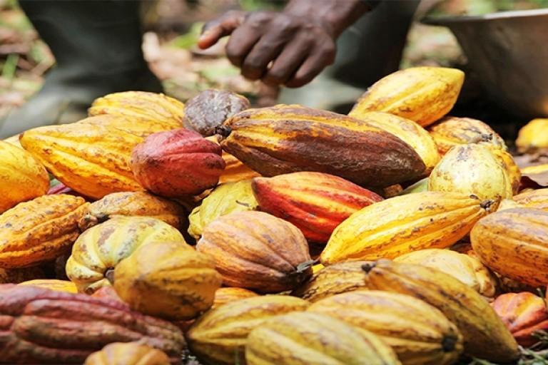 Une production de 2 millions de tonnes de cacao attendue en Côte d'Ivoire.