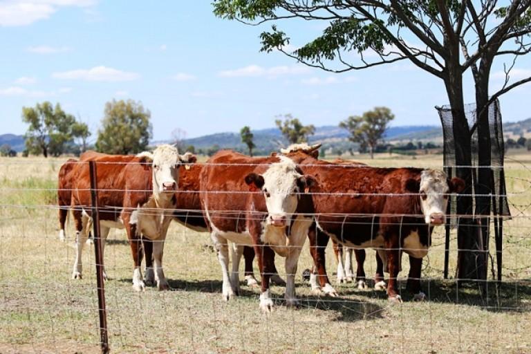 Les puces électroniques insérées dans le bétail à Madagascar.