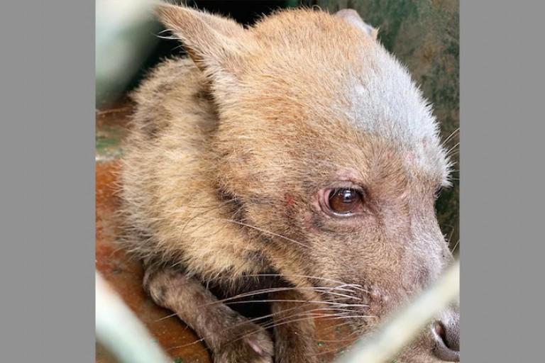 Une hyène s'échappe du Zoo d'Abidjan