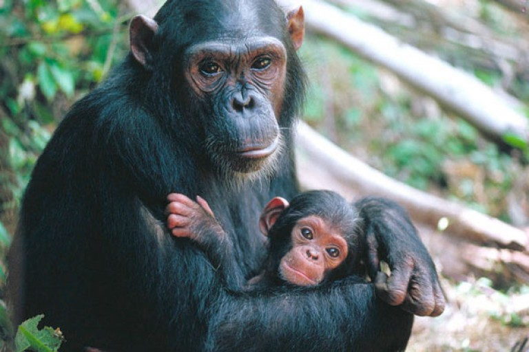 Une dame assassinée par un chimpanzé à Sipilou